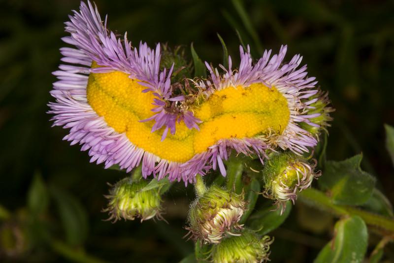 Fasciated Showy Daisy (Erigeron speciosus)