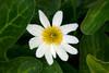 MarshMarigold_160278