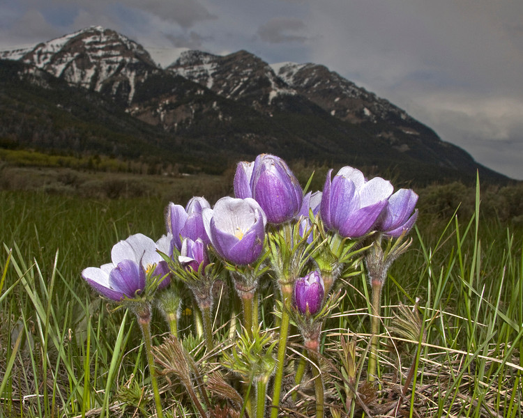 Prairie Crocus or Pasqueflower (Anemone nuttalliana)with the West Centennial Mountains in the background at Red Rock Lakes National Wildlife Refuge. June 9, 2008