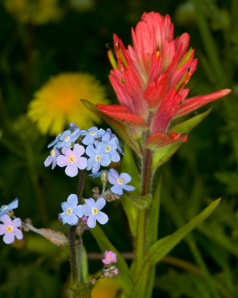 Indian Paintbrush and Forget-me-not wildflowers along Gravelly Range Ridge Road, Montana. July 24, 2008.