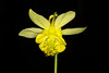 Yellow Columbine (Aquilegia flavescens)