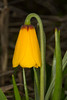 Fritillaria pudica (yellow fritillary)