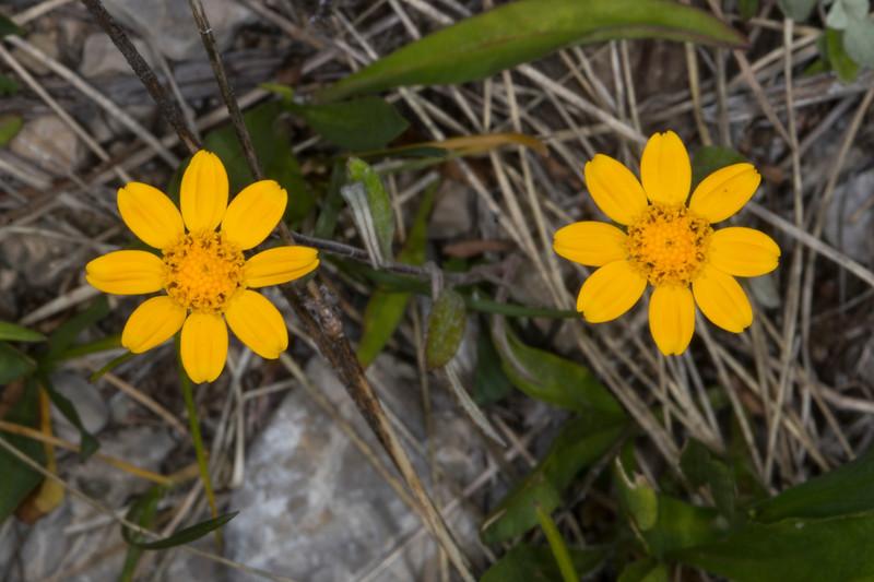Eriophyllum_170919
