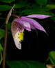 Fairyslipper Orchid