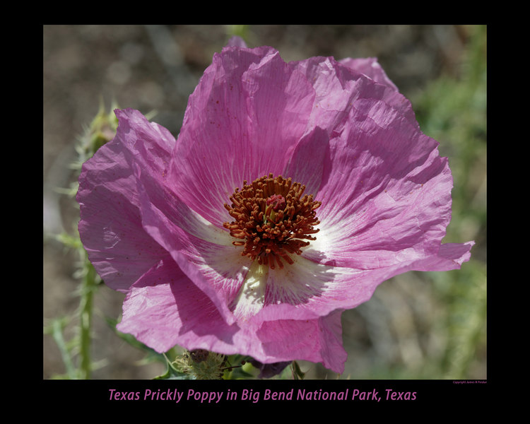 Texas Prickly Poppy in Big Bend National Park, March.