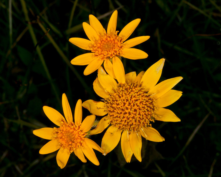 Twin Arnica (Arnica sororia) in field near Mile Creek in southern Montana. July 17, 2011. In this case, there are three blooms on a single stalk.