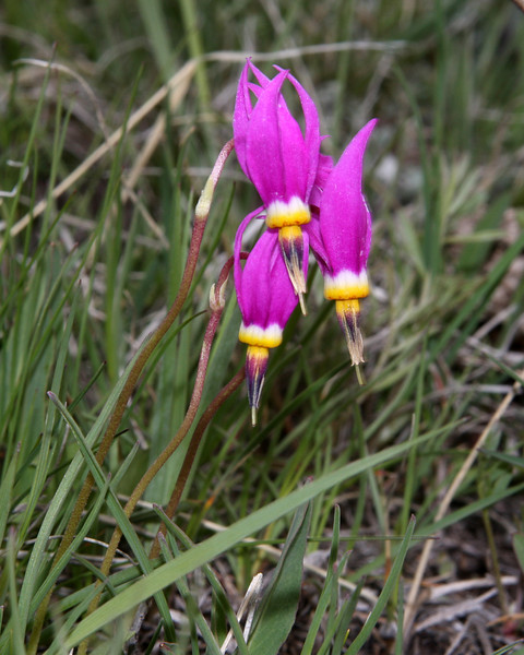 Shooting Star wildflowers in the Centennial Valley in Montana on side of hill, May 25, 2008.