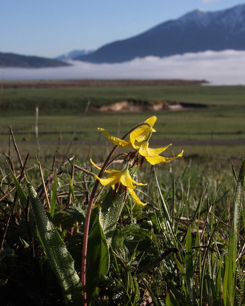 Glacier Lily with Black Mtn and Henry's Lake Idaho in background. May 31, 2008