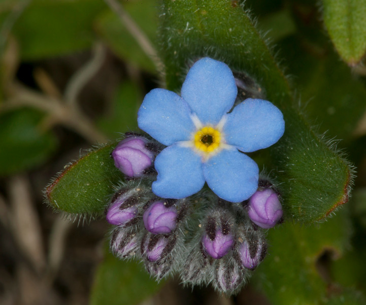Forget-me-not and buds on top of Gravelly Range along dirt road. July 3, 2010.