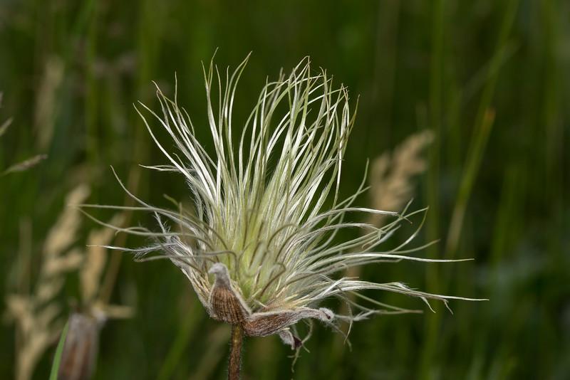 Clematis Hirsutissima wildflower (Leather flower)
