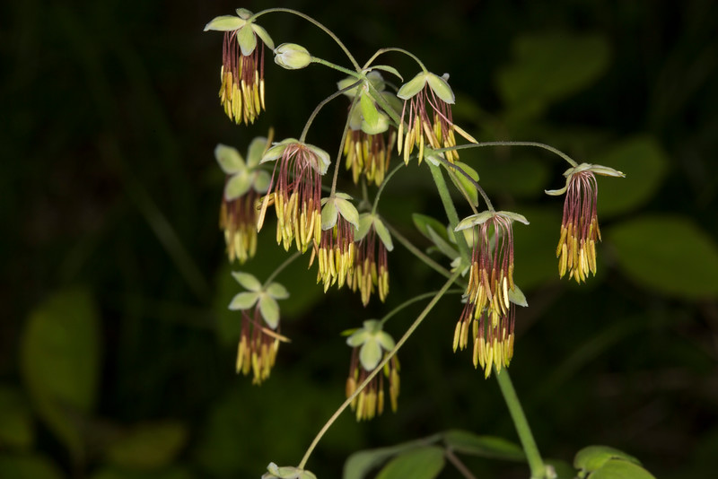 Meadow Rue (male)