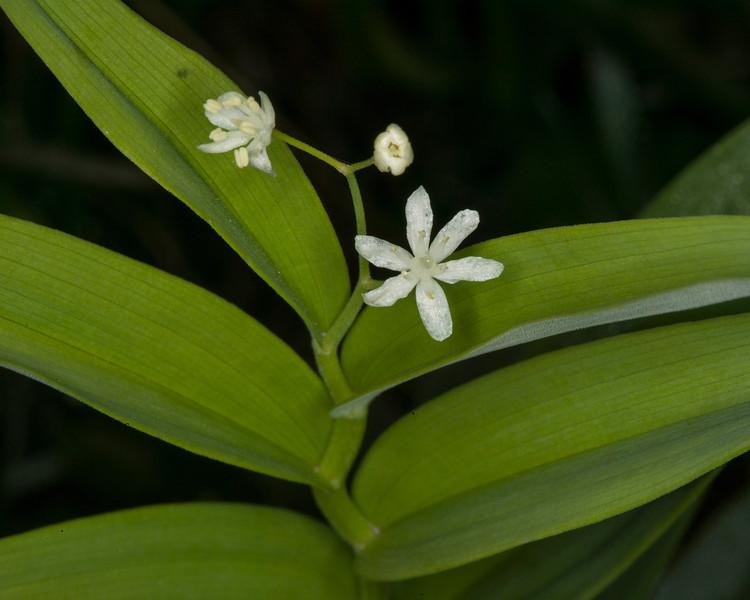 Star flowered Fals Solomon's Seal (Maianthemum stellatum)