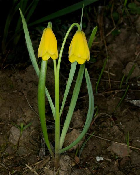 Yellow Bells (Fritillaria Pudica) in Island Park, Idaho. May 26, 2009