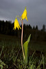 Glacier Lily in Idaho. May 2008