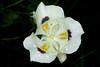 White Mariposa Lily (Calochortus eurycarpus)