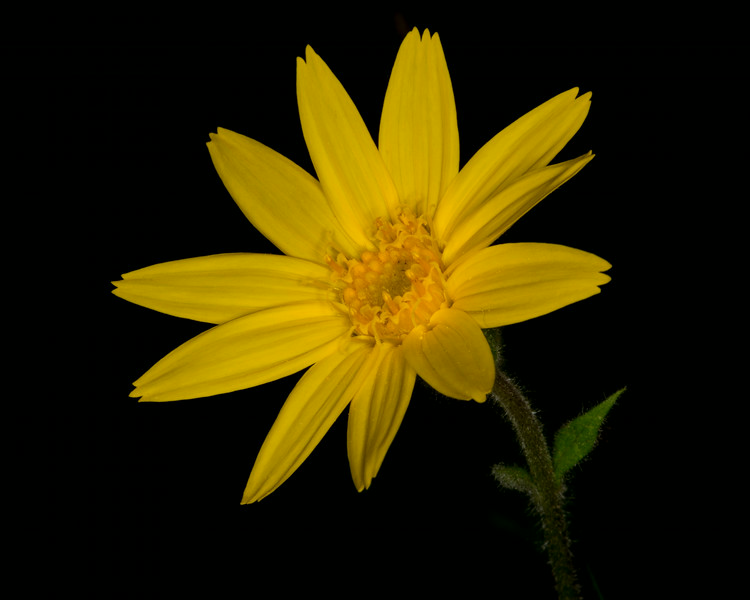 Narrow-leaf Arnica