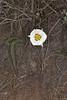 Bruneau Mariposa Lily (Calochortus bruneaunis)
