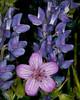 Sticky Geranium and Lupine