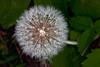 DandelionSeeds_126353