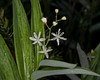 Star flowered Fals Solomon's Seal (Maianthemum stellatum)