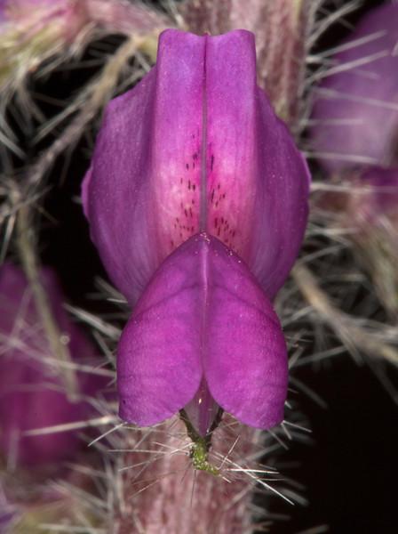 Stinging Lupine flower