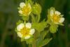Cliff Drymocallis wildflower