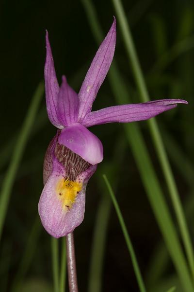 Fairy Slipper Orchids (Calypso Bulbosa)