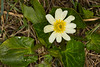 White Marsh Marigold