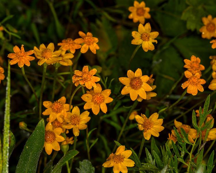 WoolySunflowers_134910