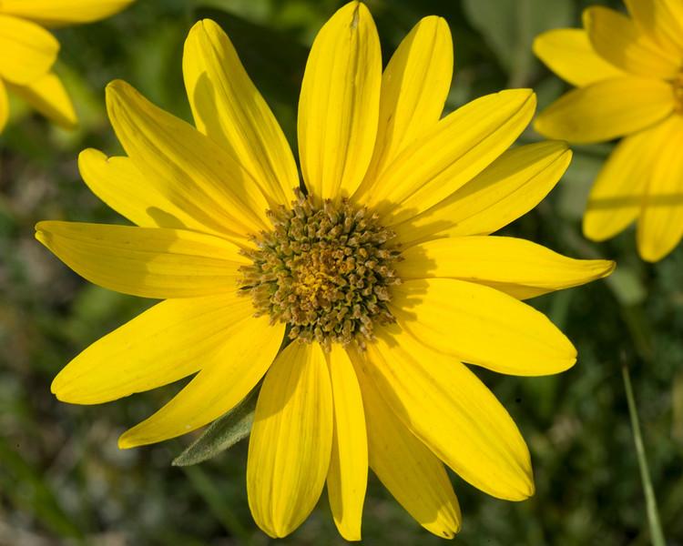 Golden Aster wildflower, Gravelly Range Ridge Road, Montana. July 24, 2008