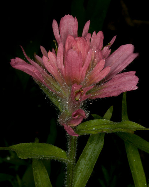 Scarlet Paintbrush, pink variety. Montana. July 3, 2010.