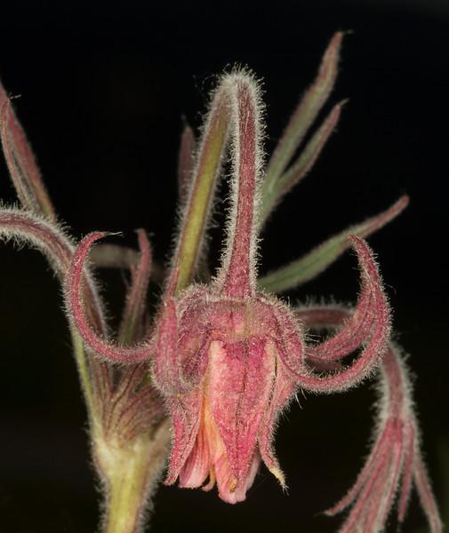 Prarie Smoke wildflower