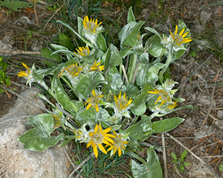 Arrowleaf Balsamroot in Island Park, Idaho. Early bloomer, May 28, 2008