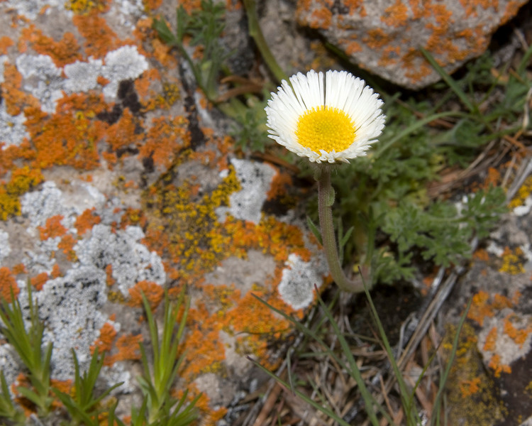 Cutleaf Daisy (Erigeron compsitus) sets among rocks covered with lichen in Red Rock Lakes National Wildlife Refuge. June 14, 2008.