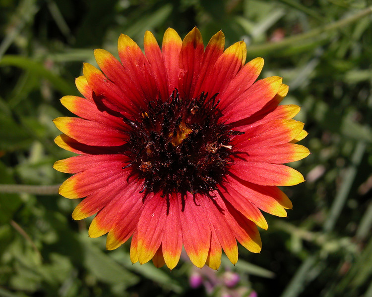 Firewheel or Indian Blanket (Gaillardia pulchella), this one found in the Aransas National Wildlife Refuge, but common around the central southern states.