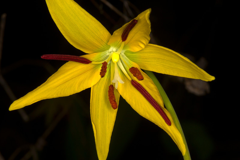 Glacier Lily throat showing sexual parts. May 16, 2013