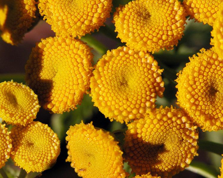 Common Tansy (Tanacetum vulgare), Idaho
