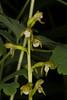 Northern Coralroot (Corallorhiza trifida)