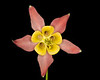 Crimson Columbine bottom view