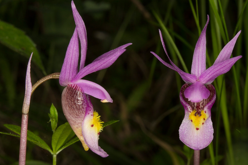 Fairy Slippers (Calypso bulbosa)