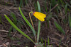 YellowBells_147082