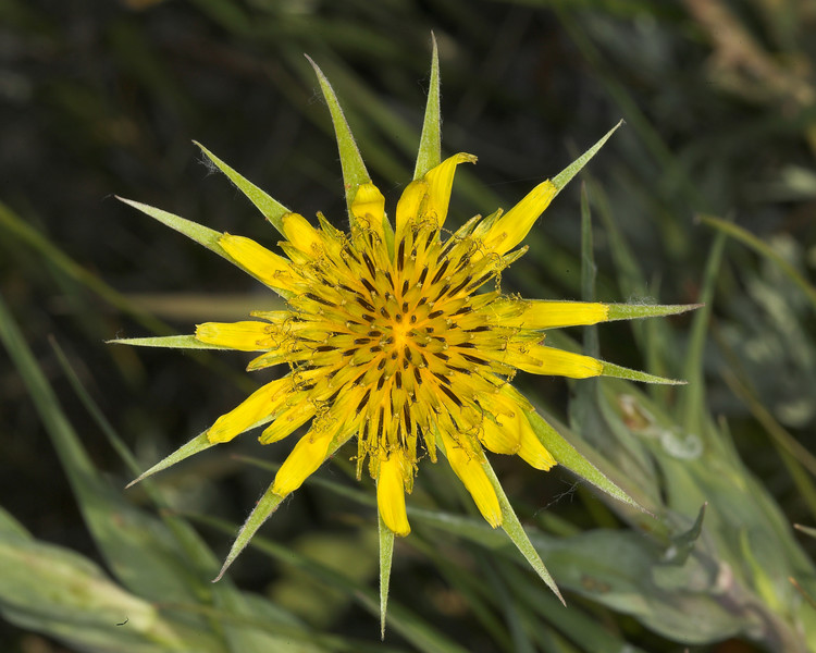 Yellow Salsify Wildflower, Idaho, June 20, 2007
