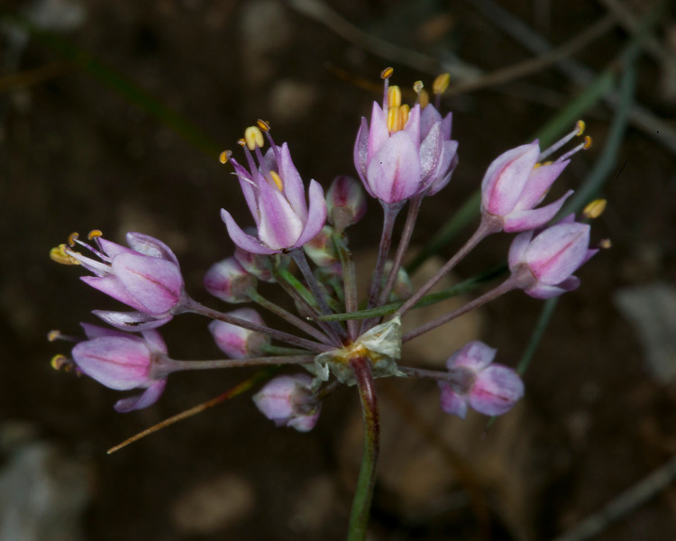 This appears to be the flowers from the Nodding Onion, found the in Red Rock Lakes National Wildlife Refuge, Montana, July 13, 2012.