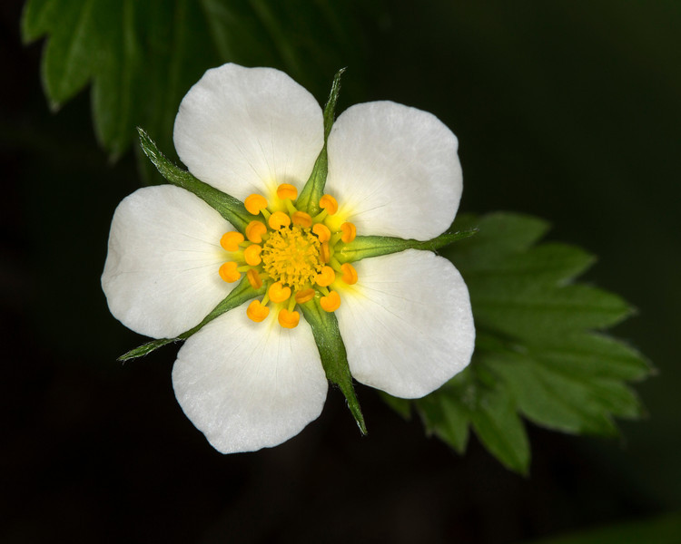 Wild Strawberry bloom in Targhee Forest, near Henry's Lake, Idaho June 17, 2013