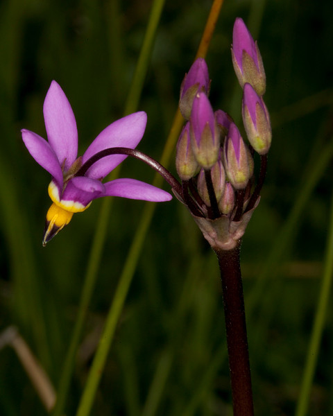 Shooting Star (Dodecatheon pulchellum) along Red Rock creek near Lower Red Rock Lake dam in Red Rock Lakes National Wildlife Refuge. June 18, 2010.