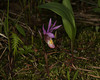 Fairyslipper (Calypso Bulbosa) complete plant. May 2013 Targhee Forest