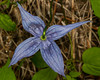 Western Blue Virgin's Bower wildflowers (Clematis occidentalis var. grosseserrata) from above in the Targhee Forest across from Redrock RV Park in Island Park, Idaho. June 4, 2012.