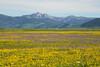 Targhee Peak and Wildflowers