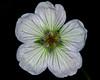 White Sticky Geranium
