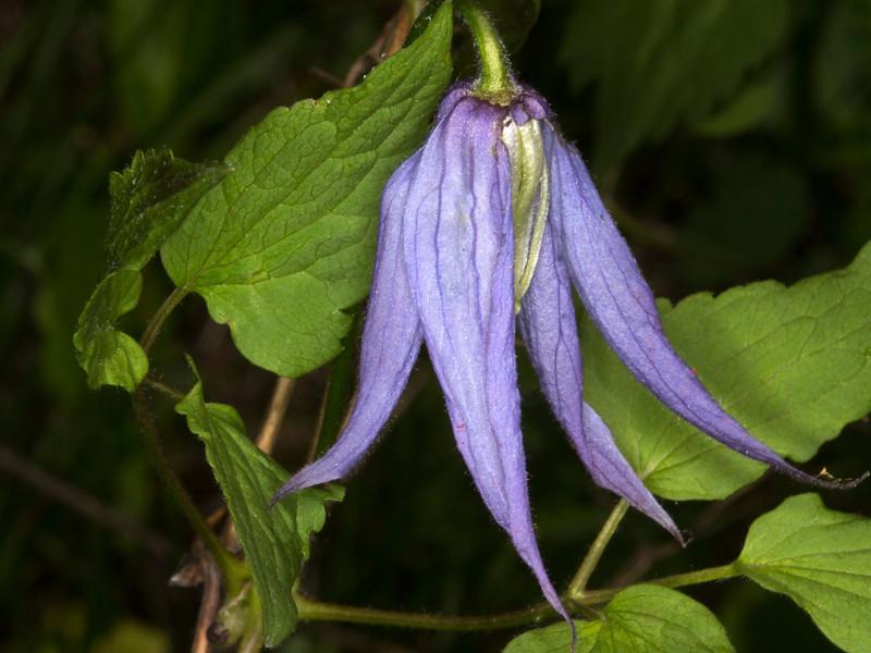 Western Virgin Bower wildflower